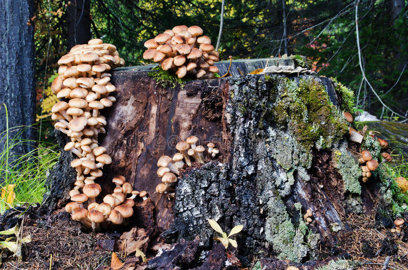 Armillaria mellea in forest. Many armillaria mellea on the old stump in wood royalty free stock image