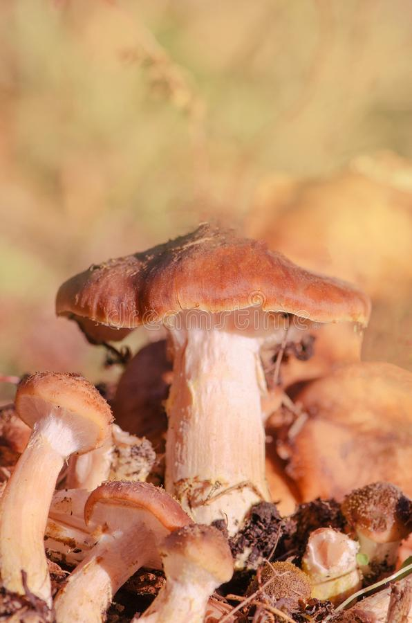 Armillaria mellea growing. Mushroom armillaria mellea growing in autumn forest. Honey fungus mushrooms royalty free stock photography