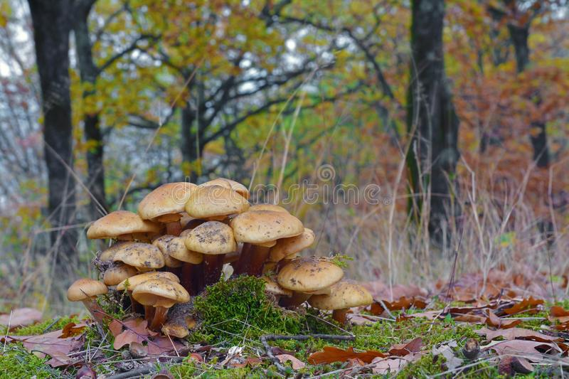 Armillaria mellea mushroom. Cluster in the forest stock photography