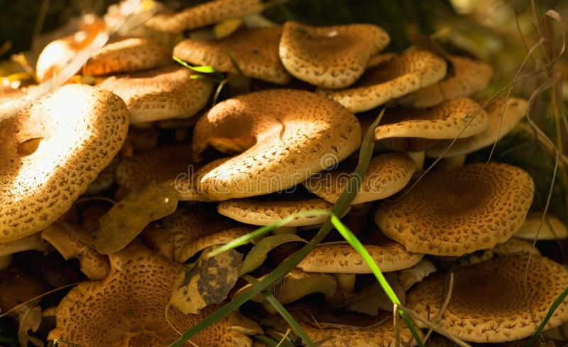 Armillaria mushroom in autumn leaves royalty free stock photos