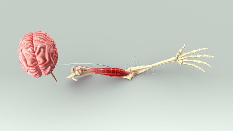 Armmuskel royaltyfri illustrationer