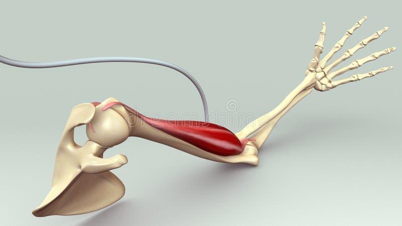 Armmuskel stock illustrationer