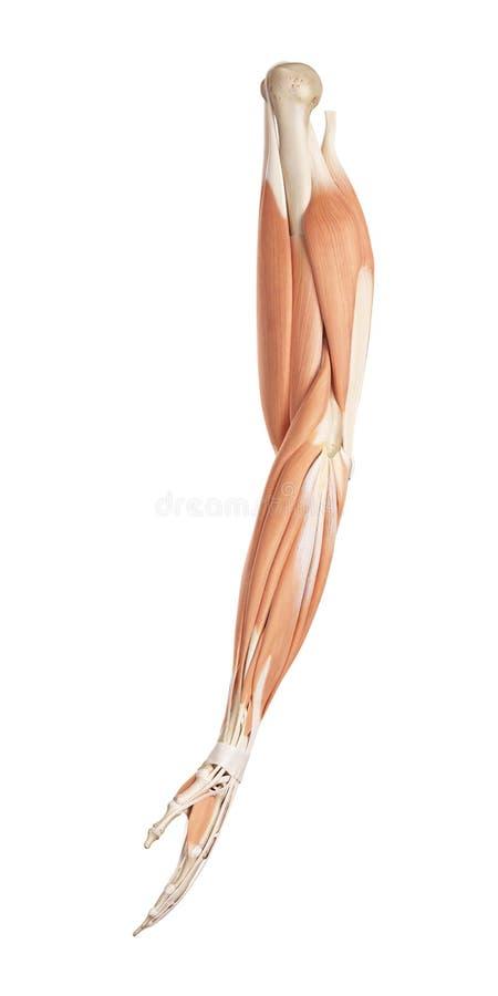 armmusklerna royaltyfri illustrationer