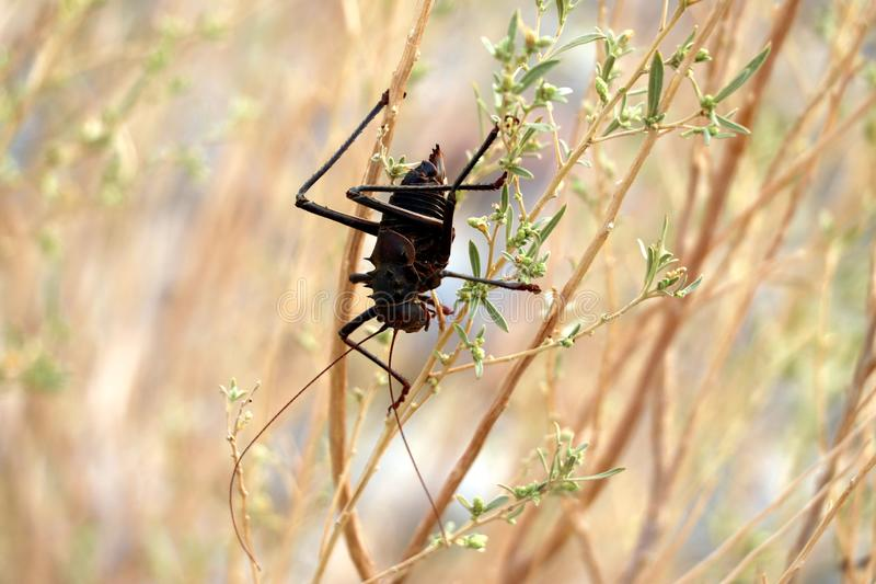 Armored cricket Hetrodes pupus - Namibia Africa stock photography