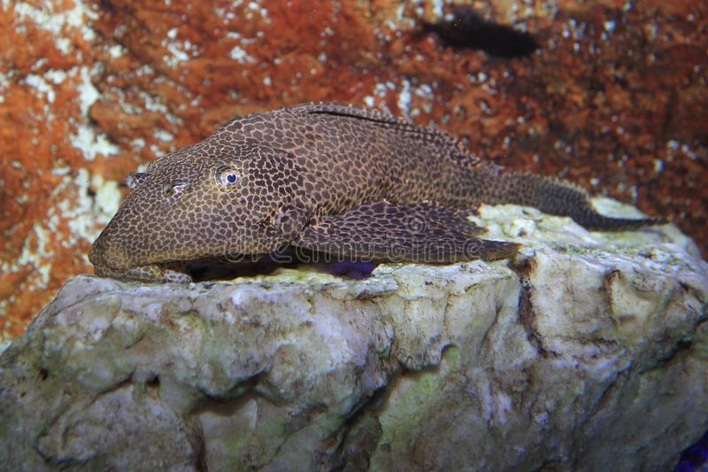 Armoured catfish. Pterygoplichthys gibbiceps, on the rock royalty free stock photos