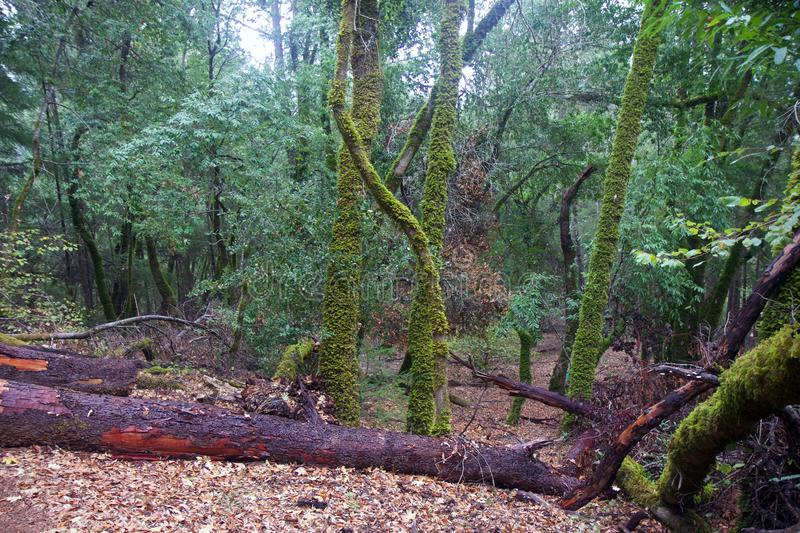 Armstrong Redwoods State Natural Reserve, California, United States - to preserve 805 acres 326 ha of coast redwoods Sequoia s. The reserve is located in Sonoma royalty free stock images