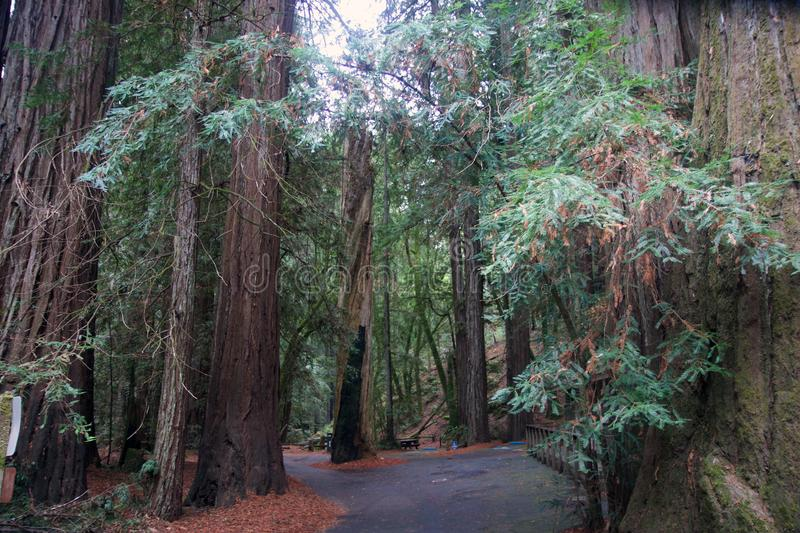 Armstrong Redwoods State Natural Reserve, California, United States - to preserve 805 acres 326 ha of coast redwoods Sequoia s. The reserve is located in Sonoma royalty free stock image