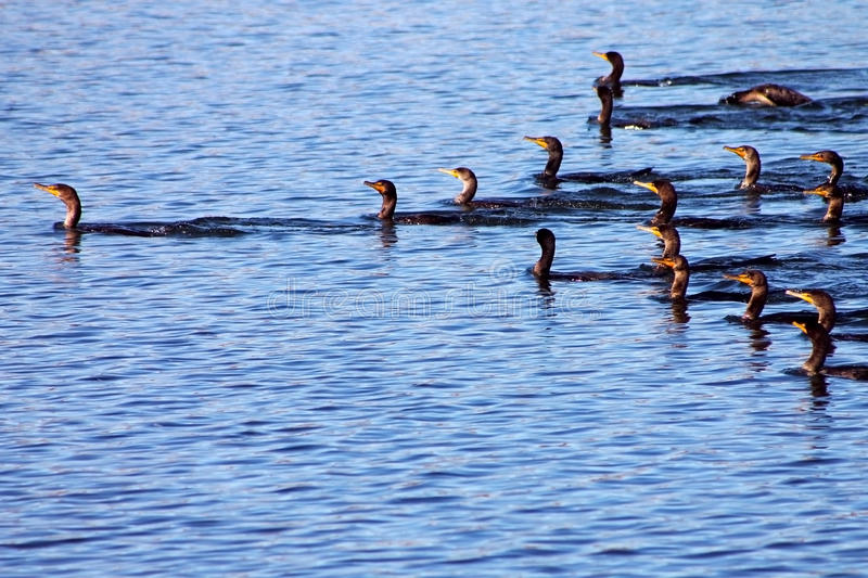 Army of Cormorants hunting for fish royalty free stock images