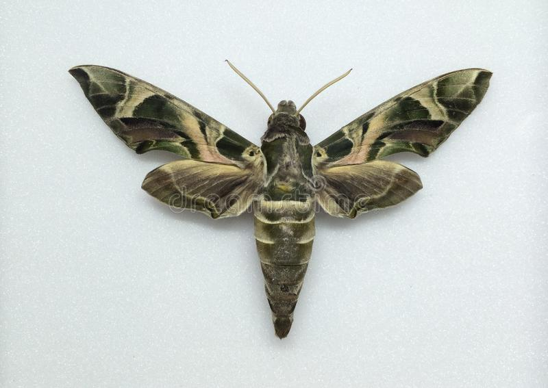 Army green moth stock photo