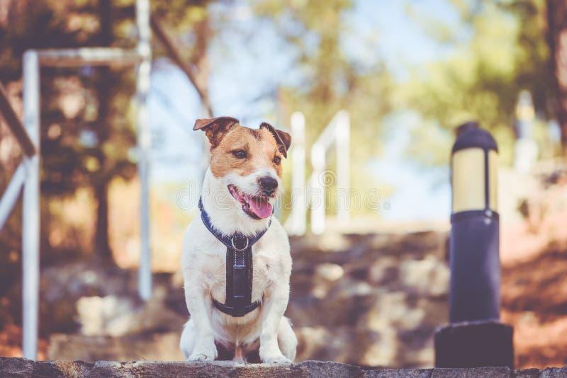Arnés que lleva del perro de Jack Russell Terrier que se sienta en las escaleras de la escalera en el parque Chipre de la montaña imagenes de archivo