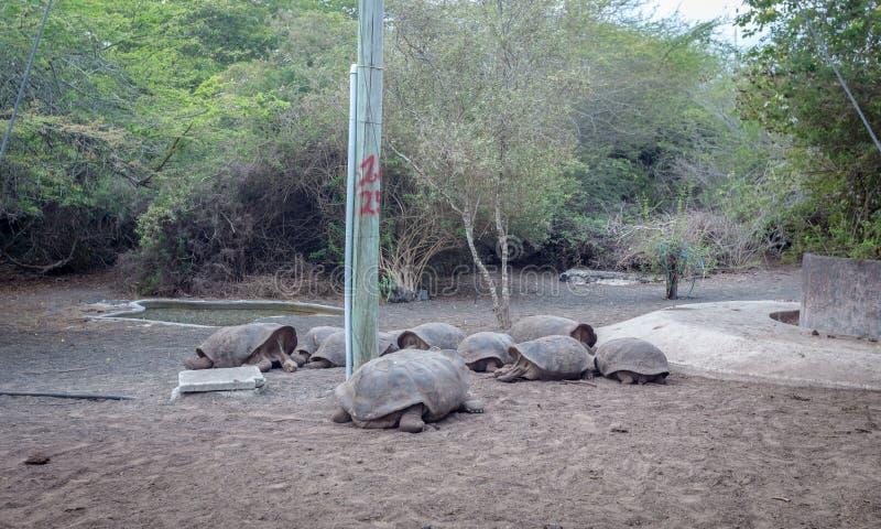 Arnaldo Tupiza Chamaidan, Giant Tortoise Breeding Center, Isabela Island, Galapagos Islands. Ecuador royalty free stock images