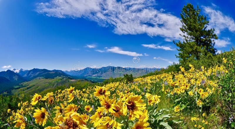 Arnica in alpine meadows. Patterson Mountain near Winthrop, Washington. North Cascades National Park. United States stock image