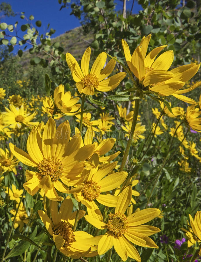 Arnica and Aspen royalty free stock photography