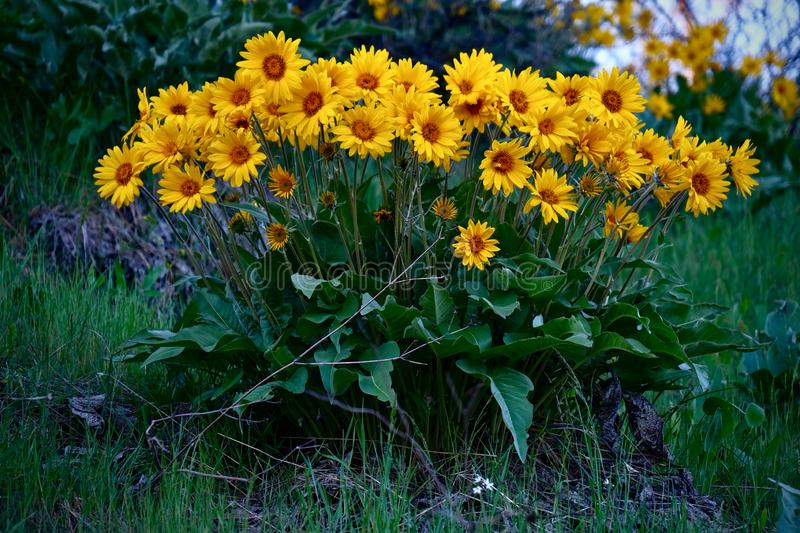 Arnica or Balsamroot flowers in full bloom near Leavenworth. Bunch of sunflowers in wilderness. Washington. United States of America stock image