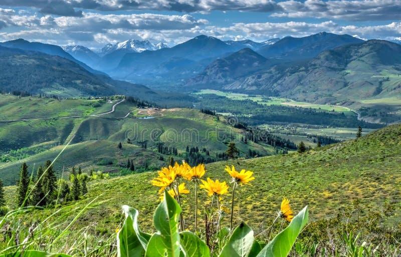 Arnica em prados alpinos com Mountain View foto de stock royalty free
