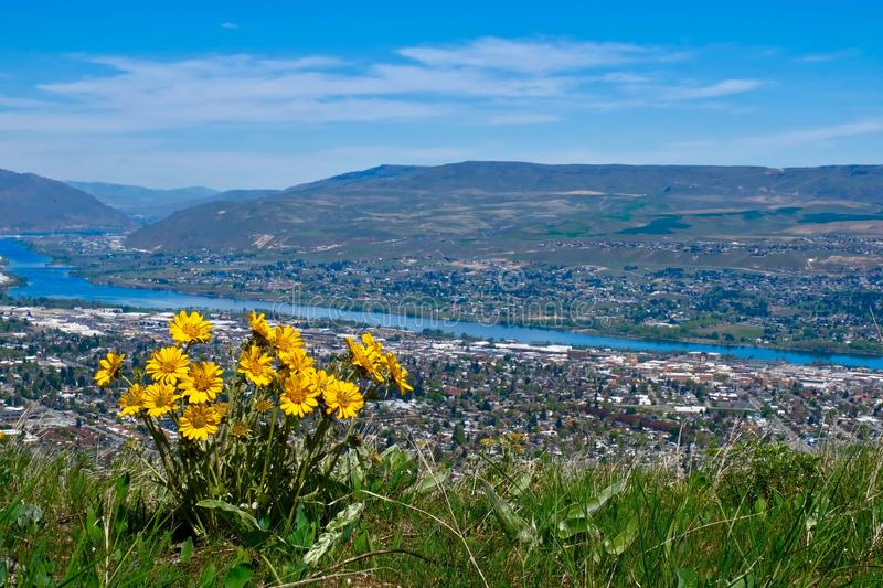 Arnica flowers above city view. Balsamroot on hill above the river and city. Wenatchee. Washington. United States of America stock photo