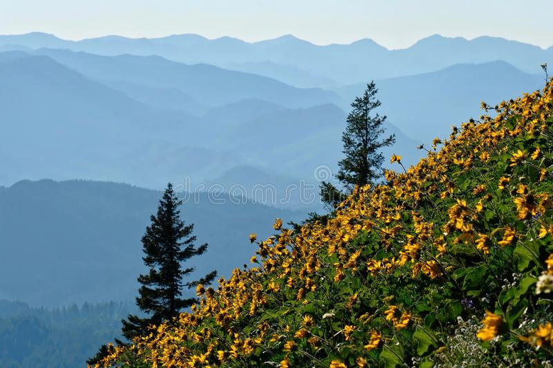 Arnica flowers in meadows in Oregon. royalty free stock photo
