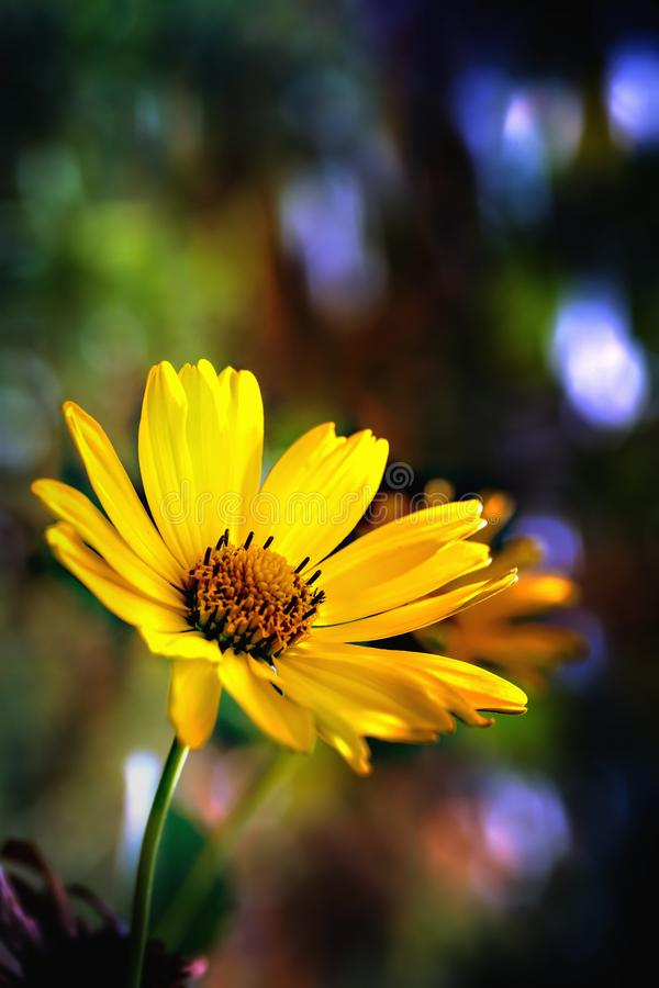 Arnica herb blossom royalty free stock photography