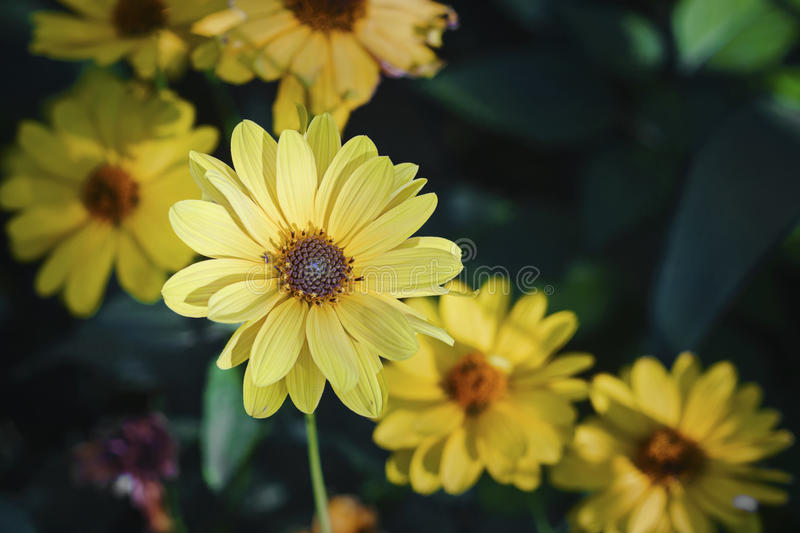 Arnica herb blossoms royalty free stock images