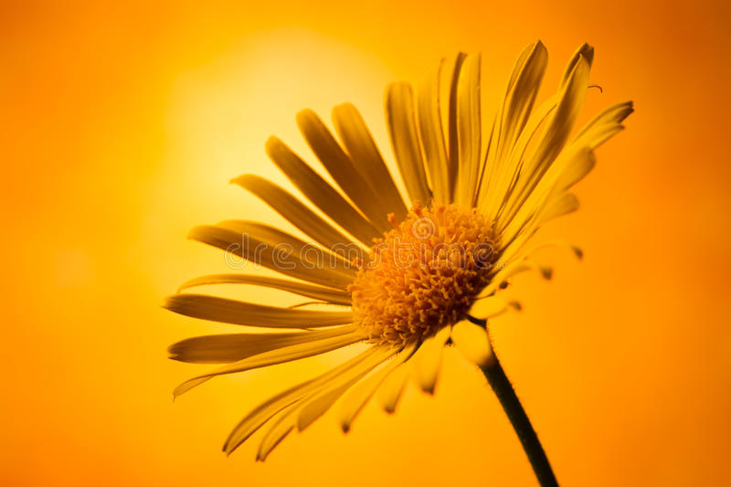 Download Arnica montana stock image. Image of flower, nature, decoration - 19669913