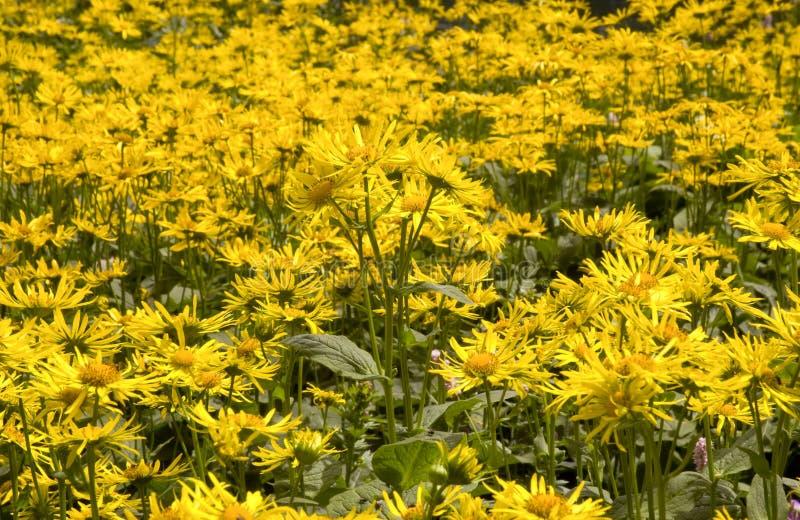 arnica montana royaltyfria bilder