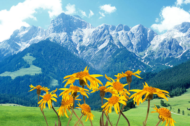 Arnica montana royalty free stock image