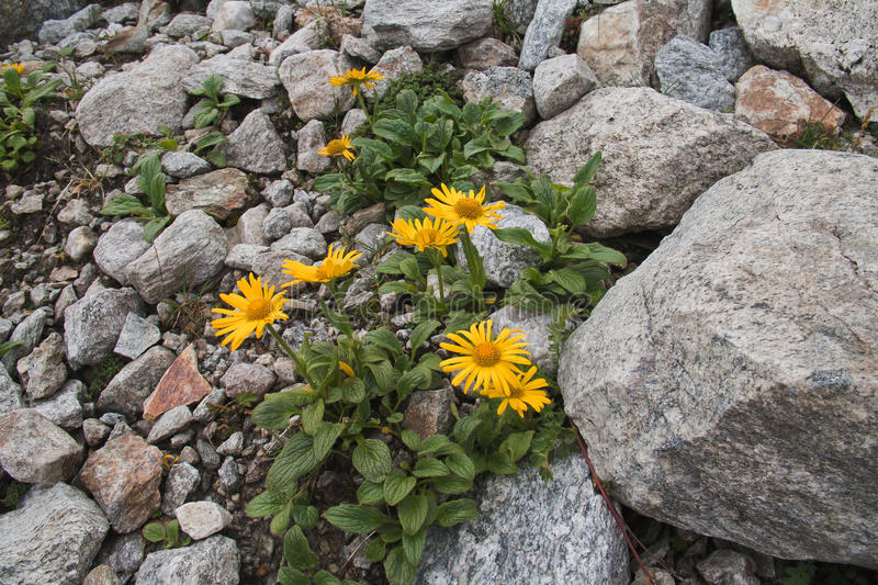Arnica montana. Wolf`s bane flowering on a mountain in the Alps royalty free stock image