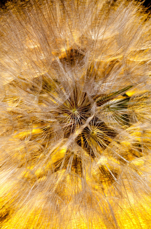 Download Arnica seeds stock photo. Image of close, detail, seed - 25314690