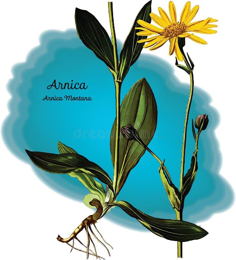 Arnika arkivfoto