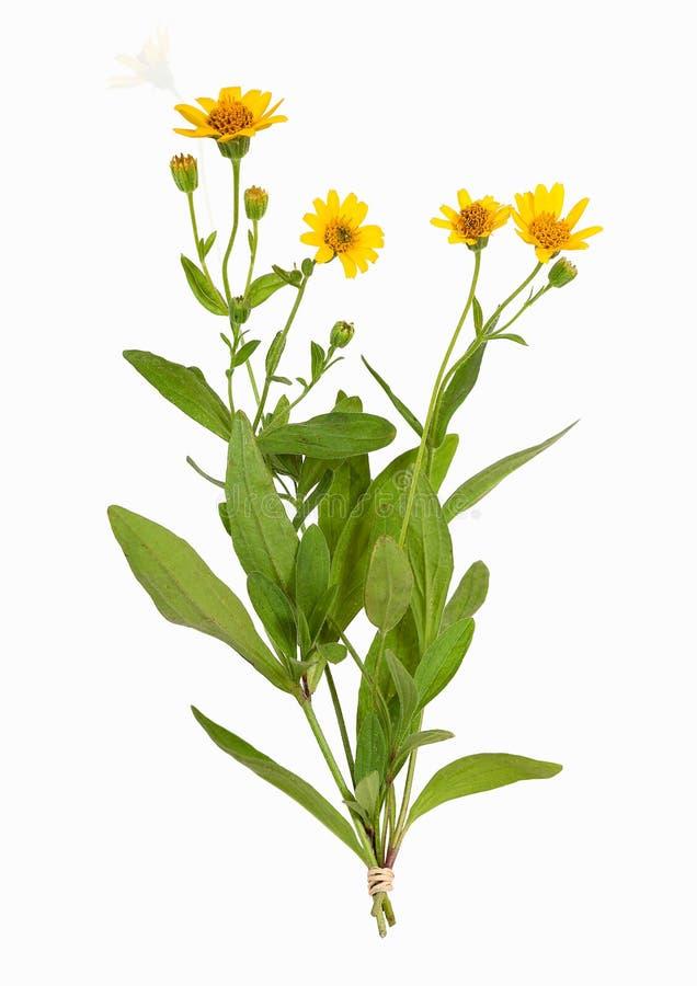 Arnikamontana växt som isoleras royaltyfria bilder