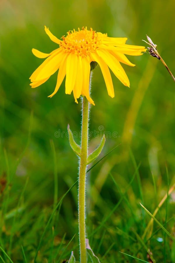 Arnikowego Montana kwiat fotografia stock