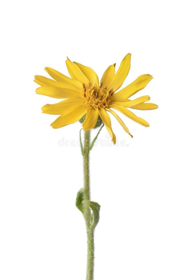 arnikowy kwiat Montana zdjęcie royalty free
