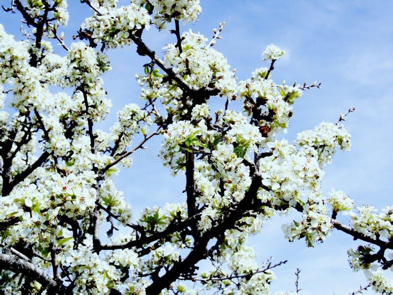Aromat kwitnienie ogródy i świetność zdjęcia royalty free