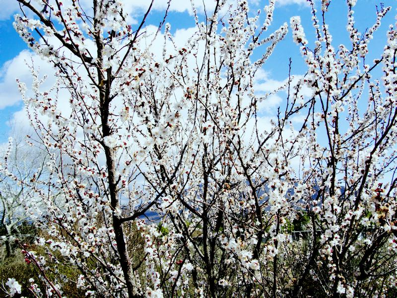 Aromat kwitnienie ogr?dy i ?wietno?? zdjęcie stock