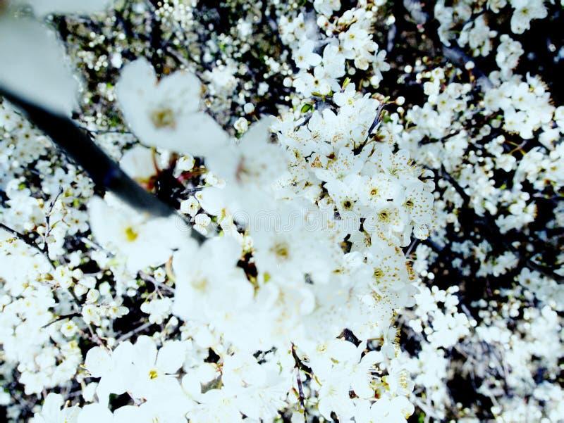 Aromat kwitnienie ogr?dy i ?wietno?? zdjęcie royalty free