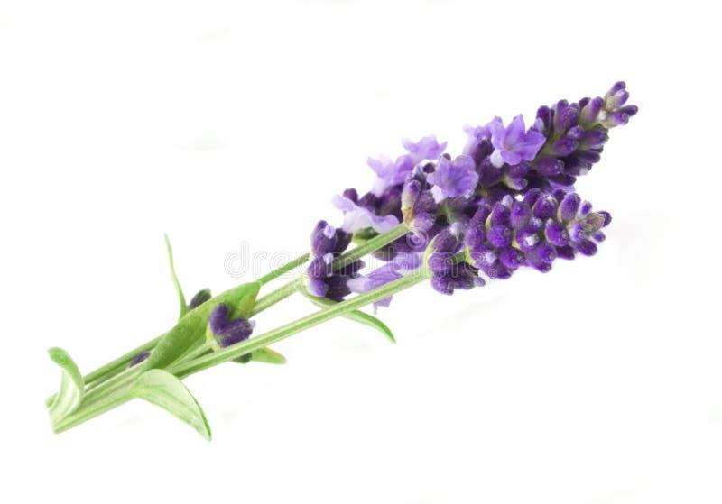 A aromaterapia da alfazema fotografia de stock royalty free