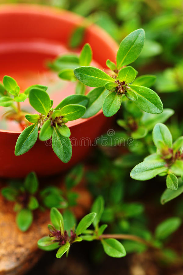 Aromatherapy. Green Thyme herb closeup. Spring background royalty free stock image