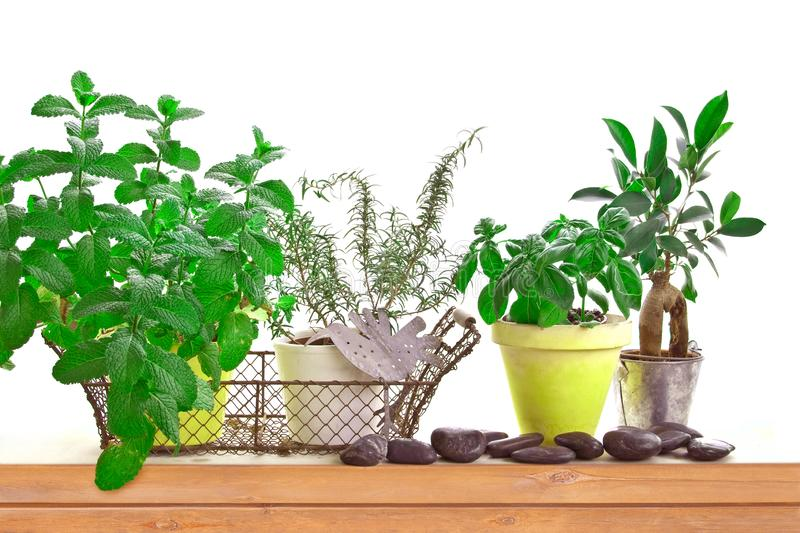 Aromatic herb garden with pots of basil and mint on a shelf isolated on white royalty free stock photography