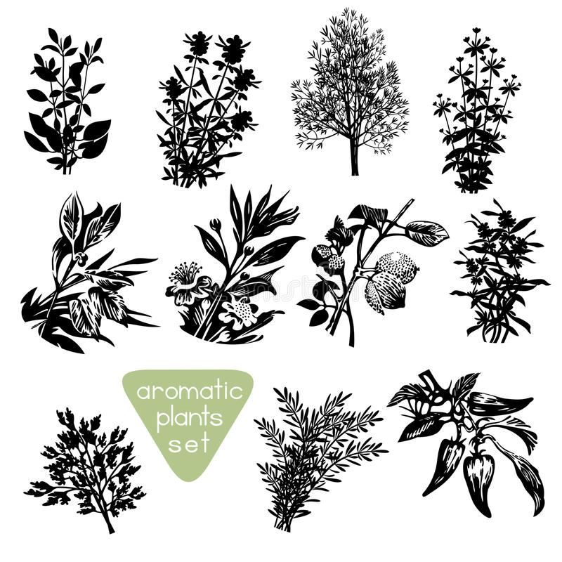 Aromatic Herbs Hand Drawn Silhouettes. Set of different aromatic plants silhouettes. Various aromatic herbs drawings. Black design elements isolated on white royalty free illustration