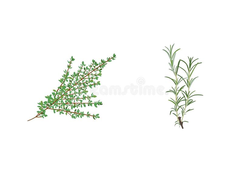 Aromatic Herbs. Two important aromatic herbs: thyme and rosemary. For medicinal and seasoning purposes stock illustration