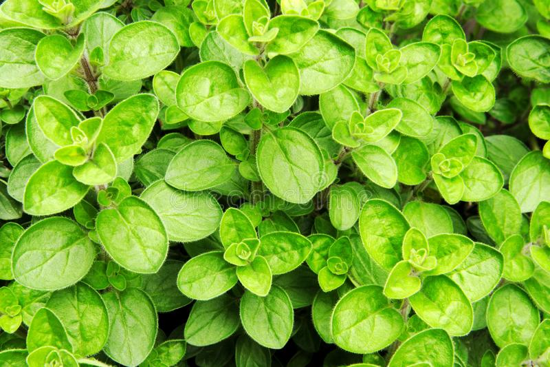 Aromatic oregano plant origanum royalty free stock image