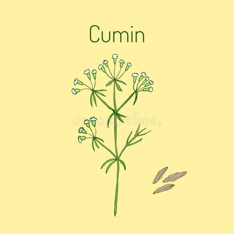 Aromatic plant cumin. Cuminum cyminum. Vector illustration vector illustration