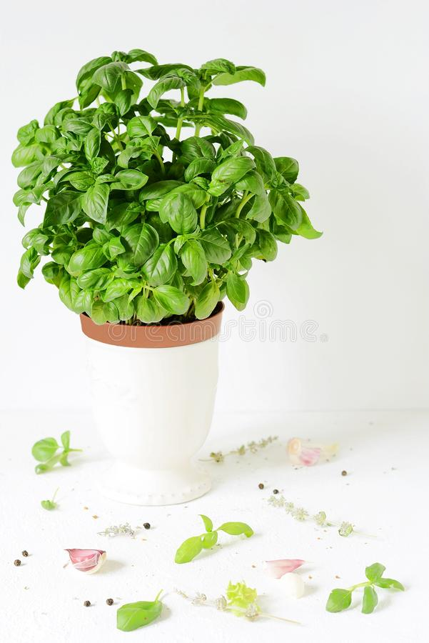 Fresh green basil in a pot on a white background stock images