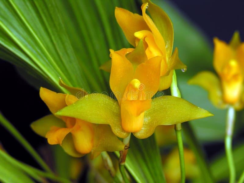 Aromatica van Lycaste, Orchidee stock afbeelding
