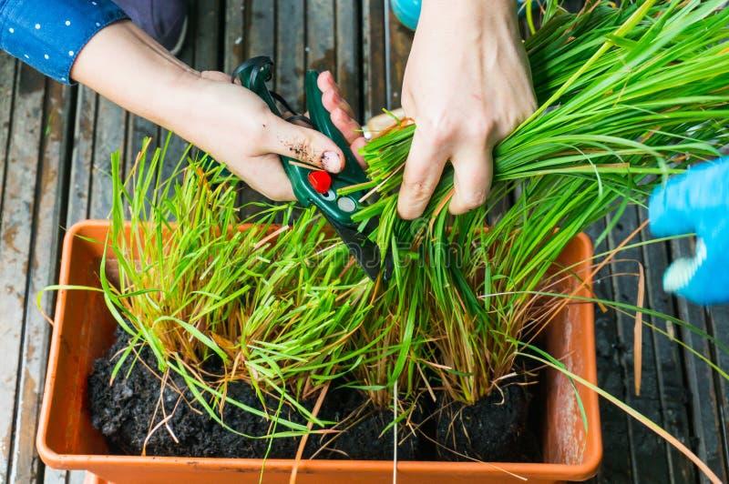 Aromatisk ört för Lemongrass royaltyfri foto