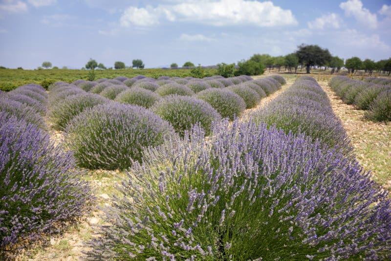 aromatyczna śródpolna ziołowa krajobrazowa lawendowa roślina obraz stock