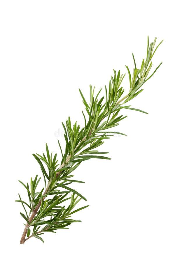 aromatyczna gałąź odizolowywający rośliny rozmarynowy biel zdjęcia royalty free