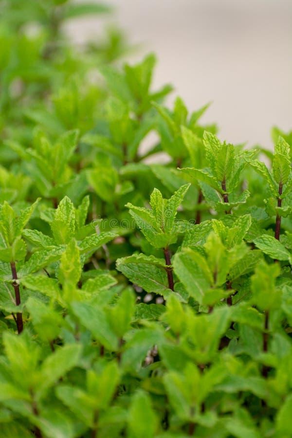 Aromatyczna zielona miętowa ogrodowa roślina zdjęcie royalty free