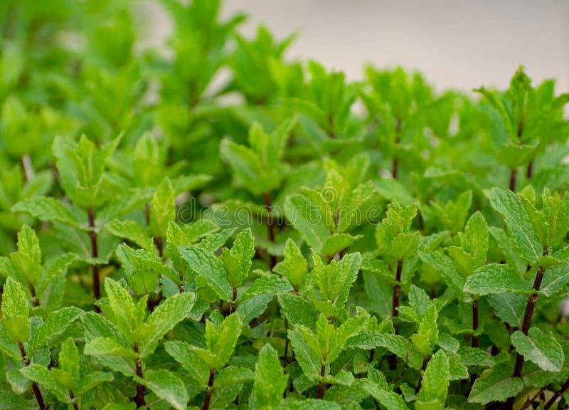 Aromatyczna zielona miętowa ogrodowa roślina fotografia royalty free