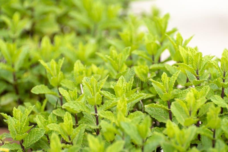 Aromatyczna zielona mi?towa ogrodowa ro?lina zdjęcia stock